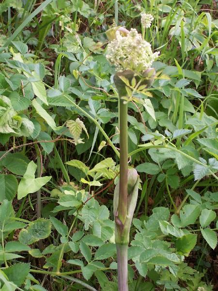 Plante des bois for Plante angelique